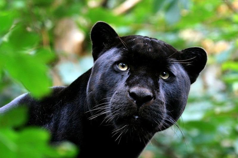 black-panther-wild-cat-face